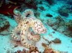 Огромный осьминог на Фанадире