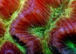 Изящный коралл-мозговик/Near brain coral