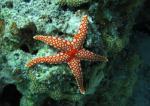 Фромия гардакана/Ghardaqa sea star