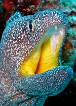 Желторотая мурена/Yellowmouth morey
