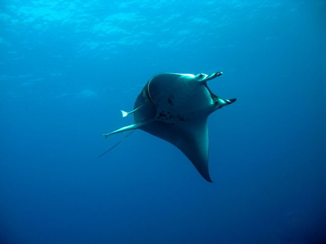 Гладкохвостая мобула/Thurston's devil ray